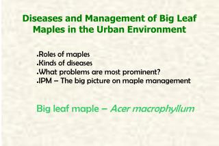 Diseases and Management of Big Leaf Maples in the Urban Environment
