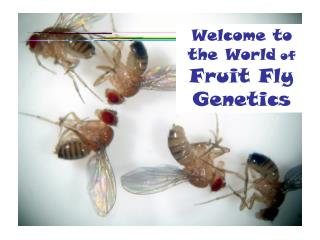 Welcome to the World of  Fruit Fly Genetics