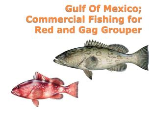 Gulf Of Mexico; Commercial Fishing for Red and Gag Grouper