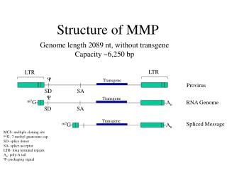 Structure of MMP