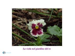La viola nel giardino del re