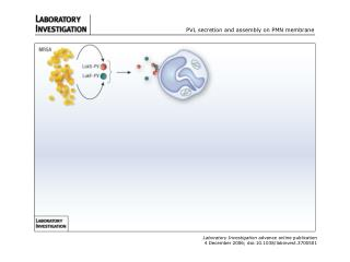 PVL secretion and assembly on PMN membrane
