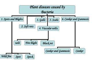 1.Bacterial spots and blights