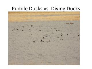 Puddle Ducks vs. Diving Ducks