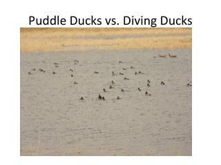 Puddle Ducks vs. Diving Ducks