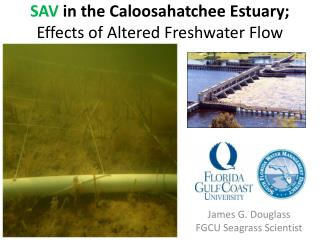 SAV  in the Caloosahatchee Estuary; Effects of Altered Freshwater Flow