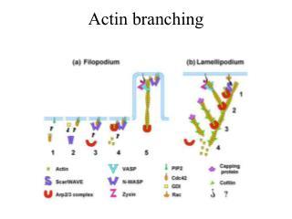 Actin branching