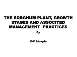 THE SORGHUM PLANT, GROWTH STAGES AND ASSOCITED MANAGEMENT  PRACTICES By  IDK Atokple