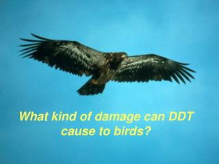 What kind of damage can DDT cause to birds?