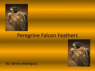 Peregrine Falcon Feathers