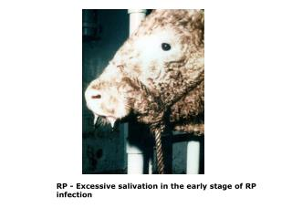 RP - Excessive salivation in the early stage of RP infection