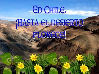 En Chile,  hasta el desierto florece