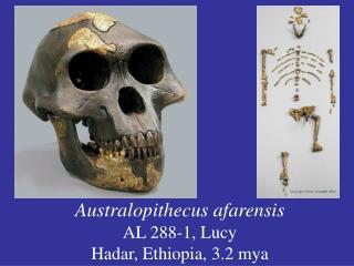 Australopithecus afarensis AL 288-1, Lucy Hadar, Ethiopia, 3.2 mya