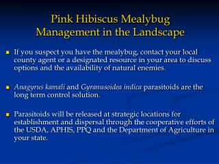 Pink Hibiscus Mealybug Management in the Landscape