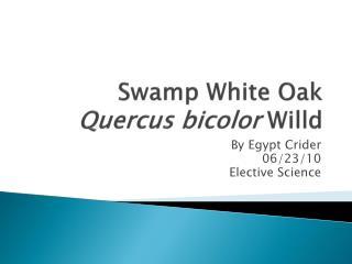 Swamp White Oak Quercus  bicolor Willd