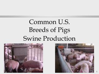 Common U.S.  Breeds of Pigs Swine Production