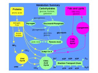 Protein Digestion and Peptide / Amino Acid Absorption