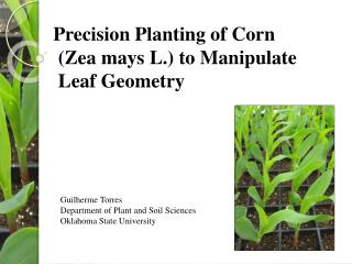 Precision Planting of Corn  ( Zea mays  L.) to Manipulate  Leaf Geometry