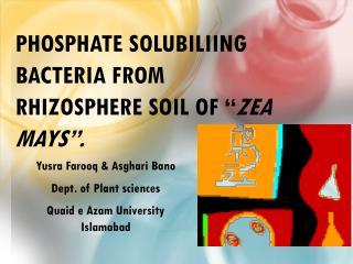 """Phosphate  Solubiliing  Bacteria from  Rhizosphere  Soil of """" Zea mays """"."""