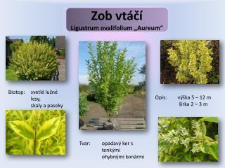 "Zob vtáčí Ligustrum ovalifolium  "" Aureum """