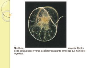 Noctiluca scintillans, un dinoflagelado marino bioluminiscente. Dentro de la c lula pueden verse las diatomeas pardo-ama