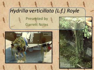 Hydrilla verticillata  ( L.f .)  Royle