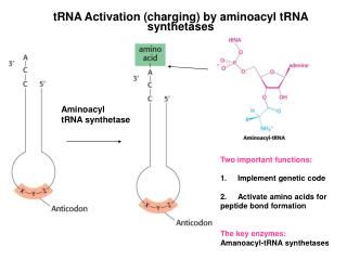 tRNA Activation (charging) by aminoacyl tRNA synthetases