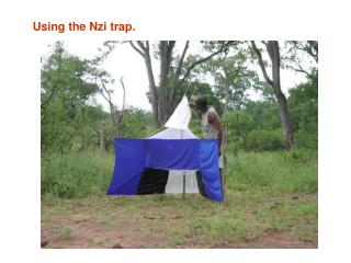 Using the Nzi trap.