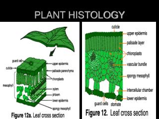 PLANT HISTOLOGY