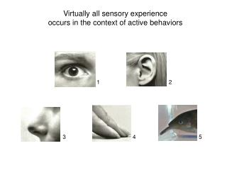 Virtually all sensory experience  occurs in the context of active behaviors