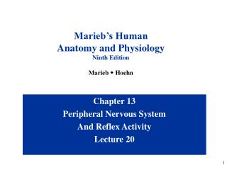 Chapter 13 Peripheral Nervous System And Reflex Activity Lecture 20