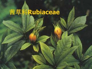 茜草科 Rubiaceae
