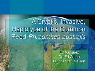 A Cryptic, Invasive, Haplotype of the Common Reed  Phragmites australis