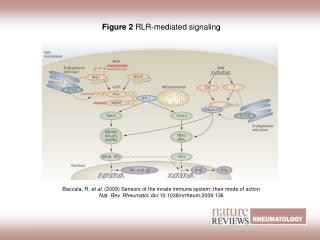 Figure 2  RLR‑mediated signaling