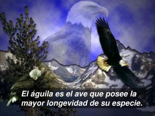 El águila es el ave que posee la mayor longevidad de su especie.