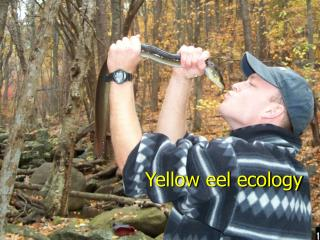 Yellow eel ecology