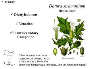 Datura stramonium Jimson Weed