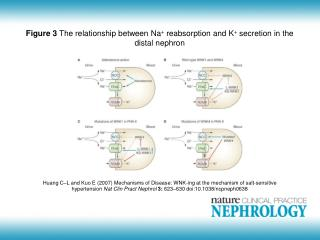 Figure 3  The relationship between Na +  reabsorption and K +  secretion in the distal nephron