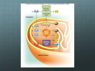 Glycolysis (cytoplasm)