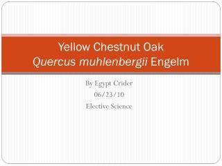 Yellow Chestnut Oak Quercus muhlenbergii Engelm