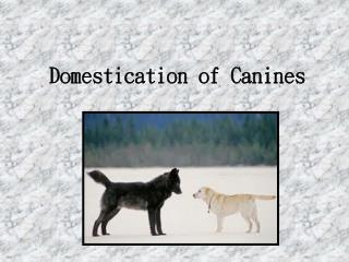Domestication of Canines