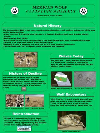 Mexican wolf Canis lupus baileyi Aletris M. Neils & Geoffrey H. Palmer