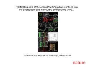 S Takashima et al. Nature 000 , 1-5 (2008) doi:10.1038/nature07156