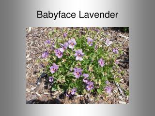 Babyface Lavender