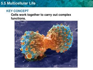 KEY CONCEPT  Cells work together to carry out complex functions.