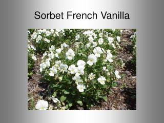 Sorbet French Vanilla