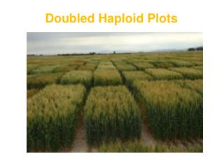 Doubled Haploid Plots