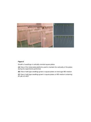 Figure 6 Growth of seedlings in vertically oriented square plates