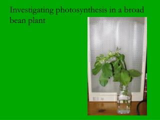 Investigating photosynthesis in a broad bean plant
