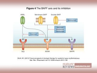 Figure 4  The BAFF axis and its inhibition